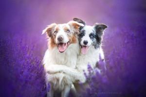 Собаки в лаванде
